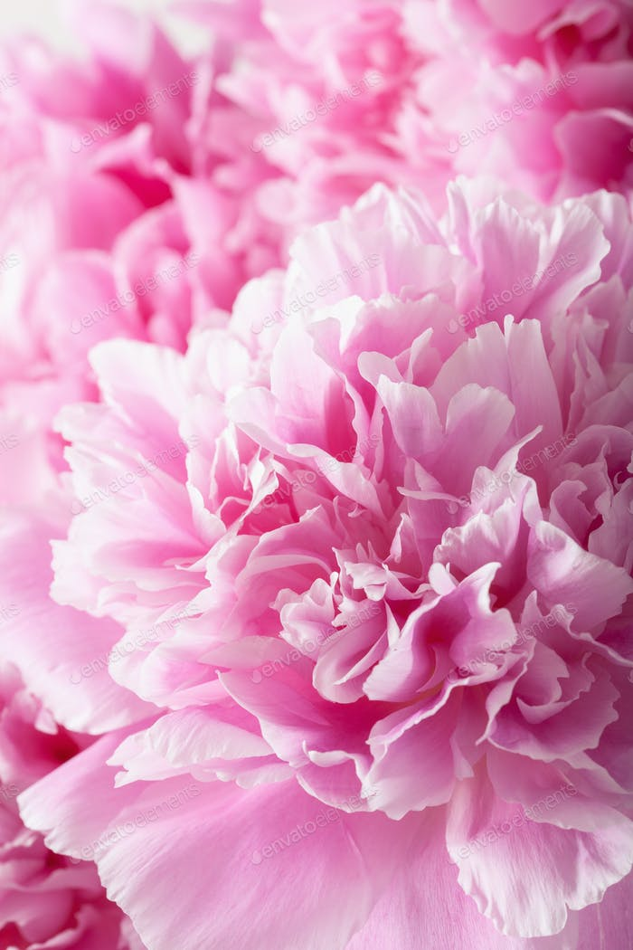 schöne rosa Pfingstrose Blume Hintergrund