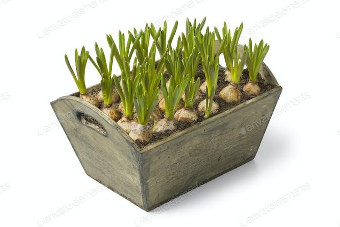 Wooden box with muscari bulbs