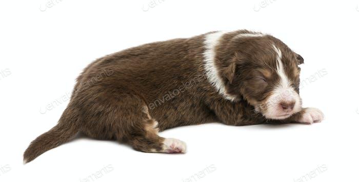 Australian Shepherd puppy, 16 days old, lying against white background