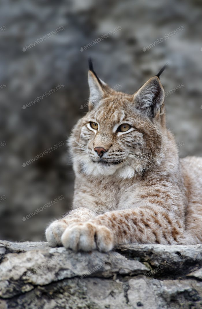 Young lynx portrait