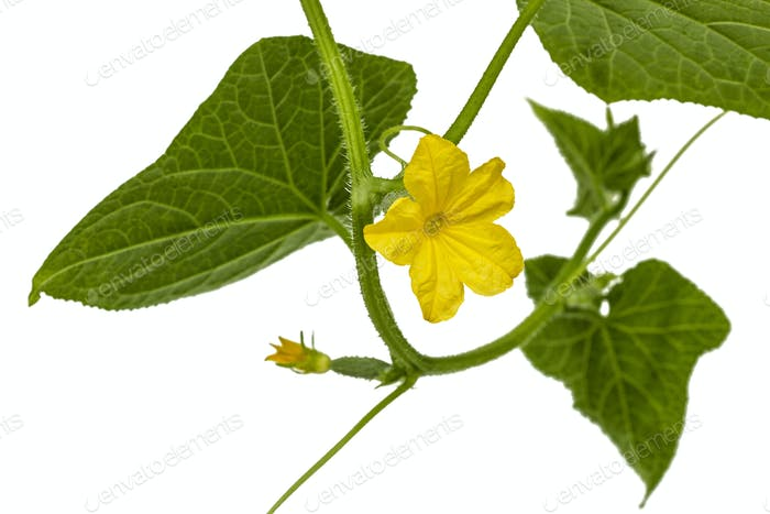 Yellow flower of cucumber, isolated on white background