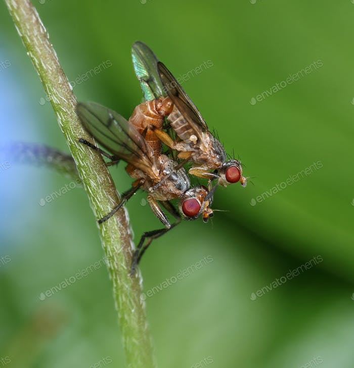 Two small flies mating in garden