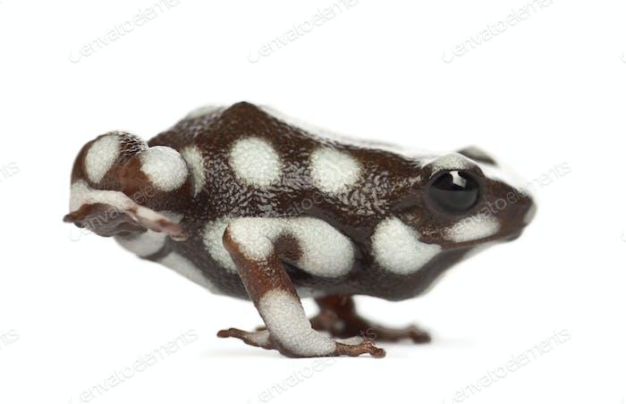 Poison Frog or Rana Venenosa, Ranitomeya mysteriosus