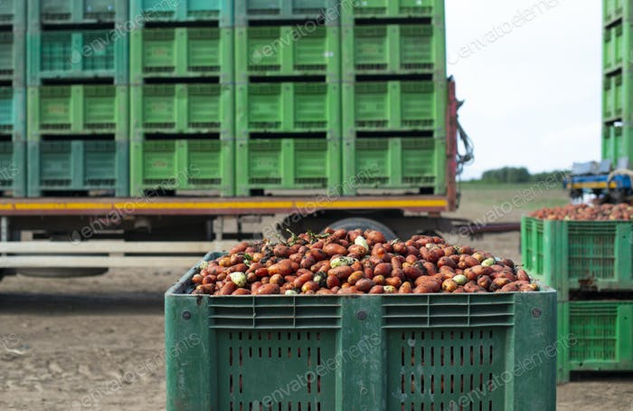 Tomatoes for canning. Agriculture land and crates with tomatoes.