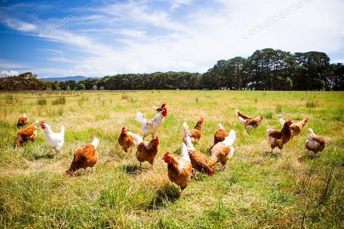 Hühner in Ein Feld