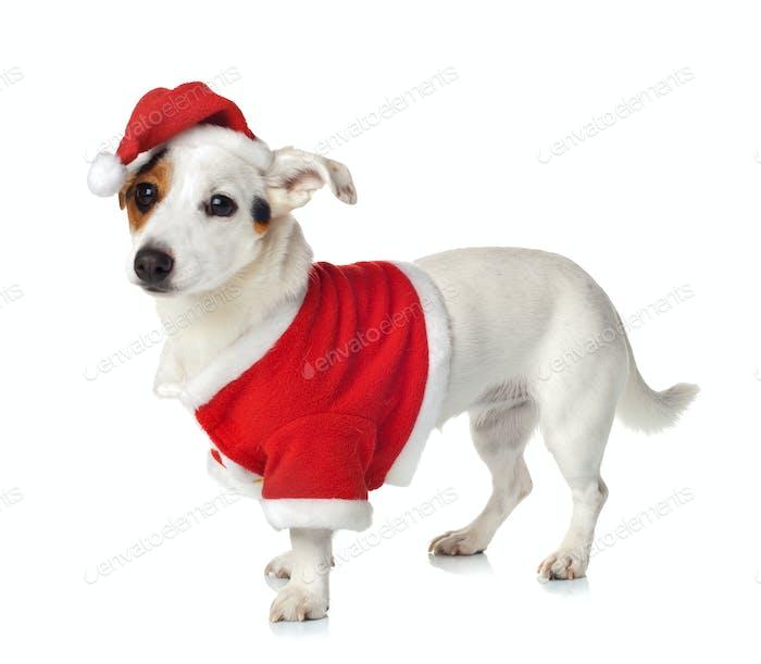 Junge Jack Russel trägt Weihnachtsmann-Kleid