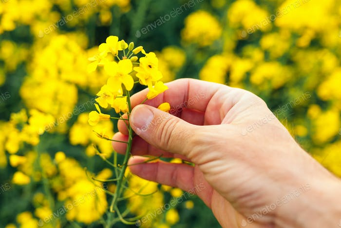 Farmer examining rapeseed blooming plants