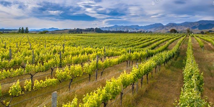 Colorful Vineyard Marlborough area new zealand