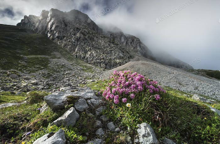 pink flowers on rocks in Alps