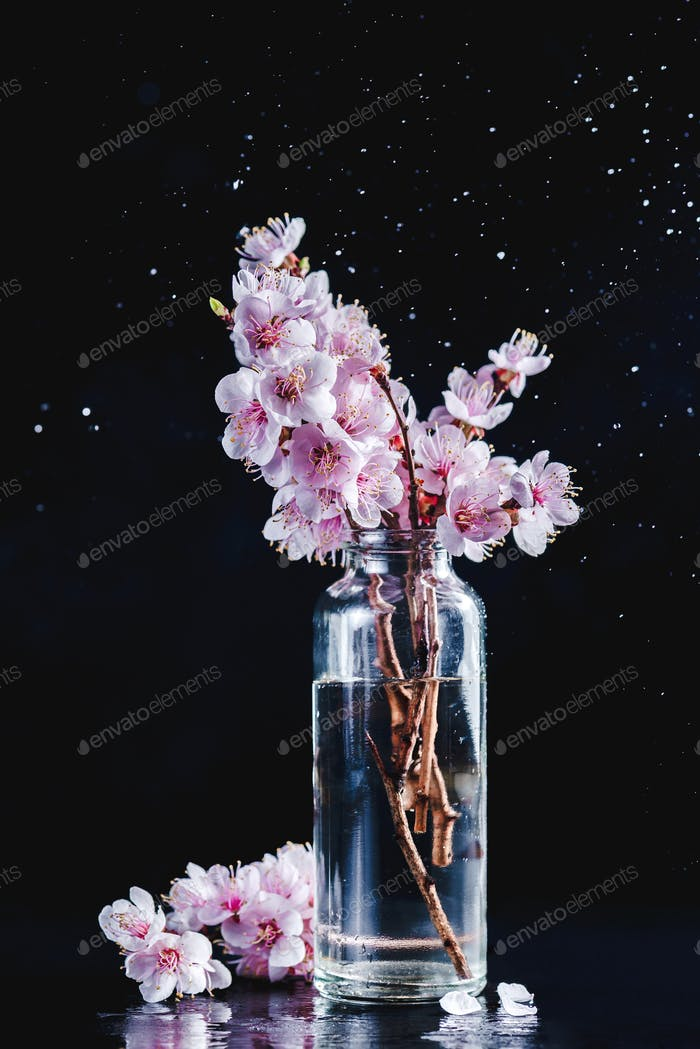 Cherry blossom in a glass vase minimalist still life. Pink flowers, spring bloom concept on a black
