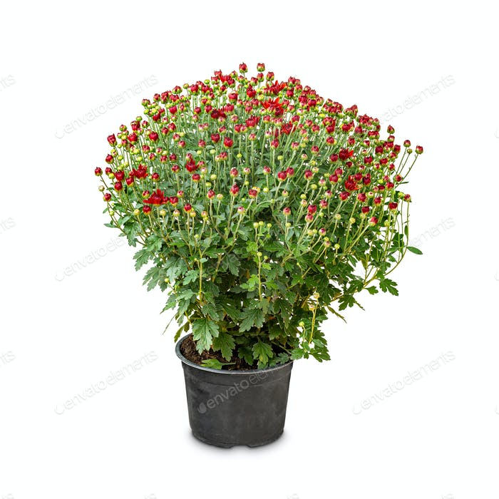 Bouquet von Chrysanthemen Blumen