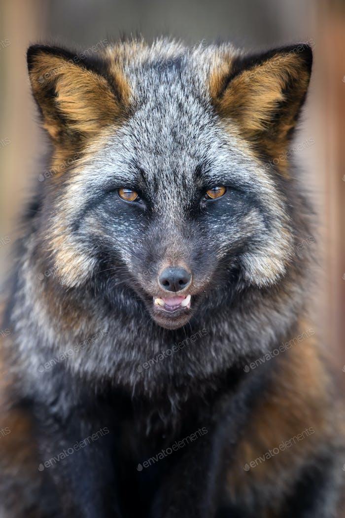 Portrait silver Fox, beautiful animal on dark background