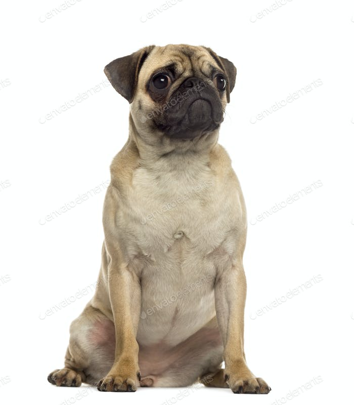 Pug sitting and looking away