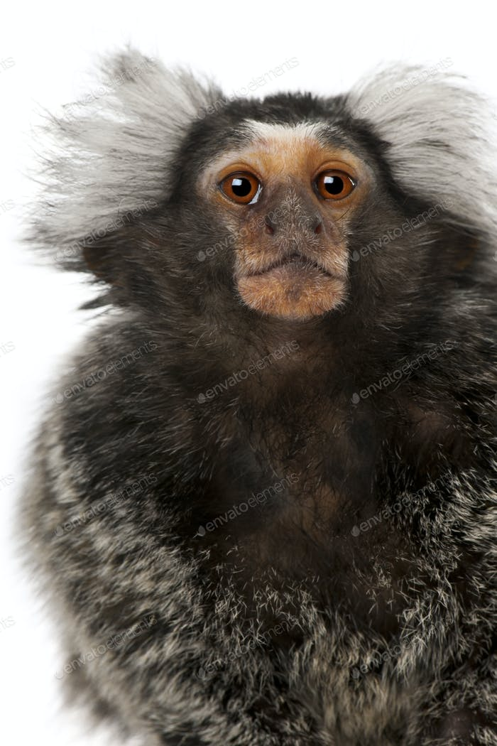 Thumbnail for Common Marmoset, Callithrix jacchus, 2 years old, in front of white background