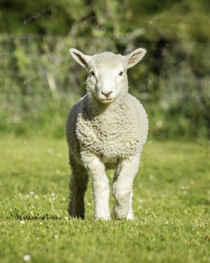 Romney Lamm