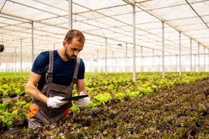 Junge Agronom analysiert Salatpflanzen und schaut auf die Tablette