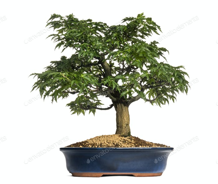 Japanese Maple or Shishigashira bonsai tree, Acer Palmatum, isolated on white