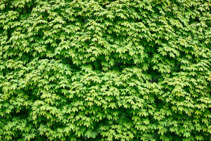Exuberante follaje verde de arce