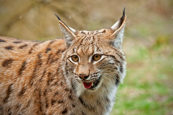 Close view of smiling wild lynx in nature