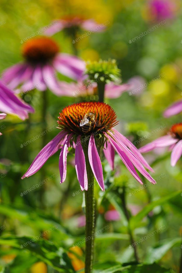 Echinacea purpurea flower and honey bee