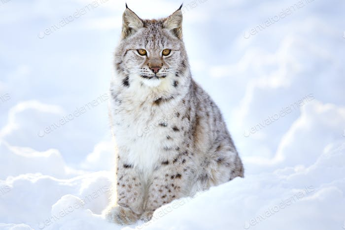 Beautiful lynx cub sits in the cold snow