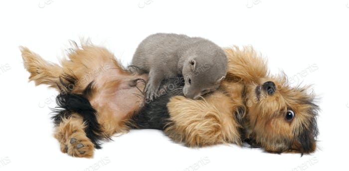 American Mink, Neovison Vison, 3 months old, and a Yorkshire dog in front of white background