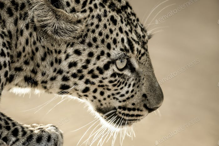 Close-up of a leopard in Serengeti National Park