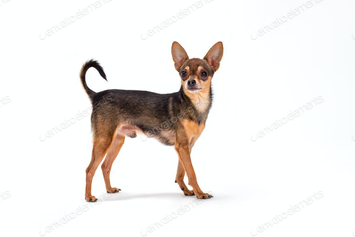 Cute pedigreed russian toy-terrier