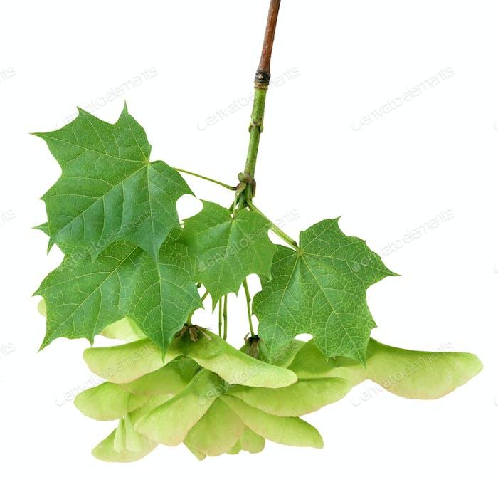 Maple branch on white background