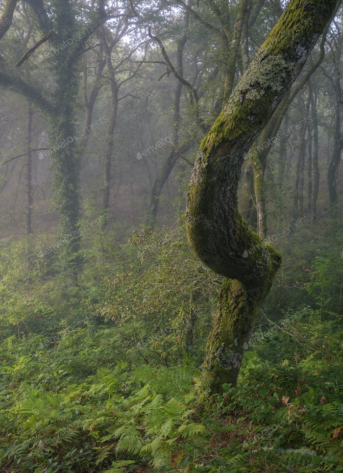 Foreshortened curved oak trunk in a misty forest