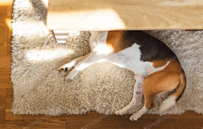Beagle dog tired lying down under a table on the carpet floor. Adorable canine background, top view