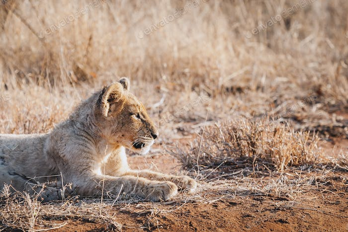 Animals in the wild - lion cub in Kruger National Park, South Africa