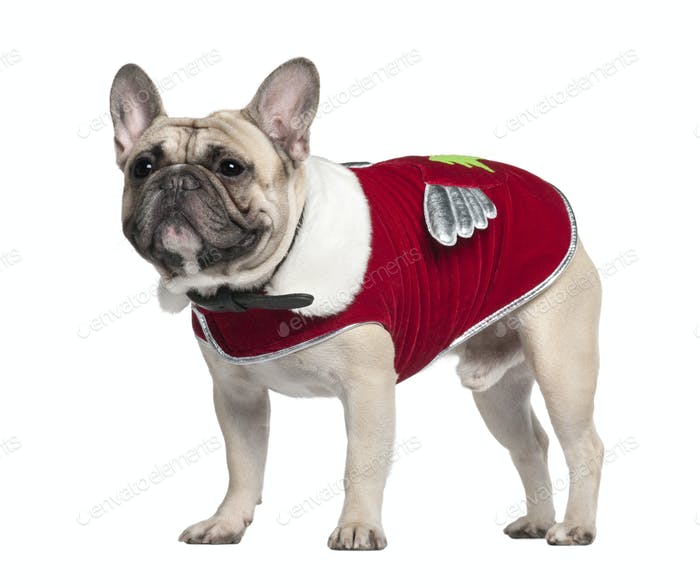 French Bulldog in red outfit, 2 Years old, standing in front of white background