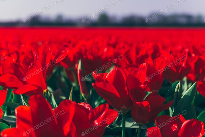 Fields of red tulips