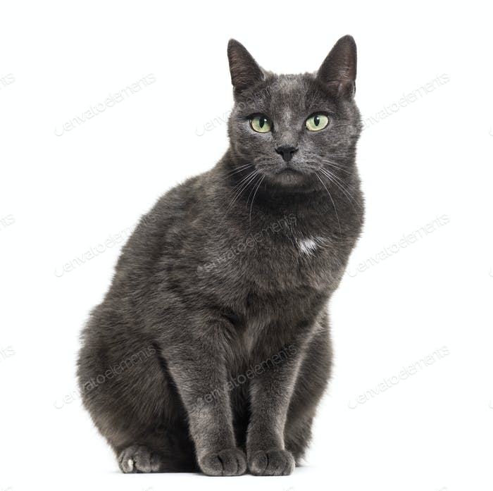 Grey mixed-breed cat sitting in front of a white background