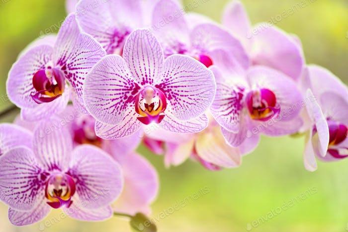 Beautiful pink orchid flowers on a natural background. Floral background