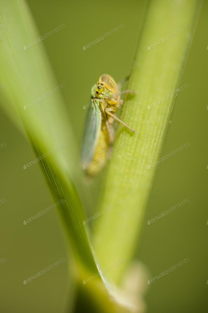 Cicada pequeña que se esconde entre una hoja y un tallo