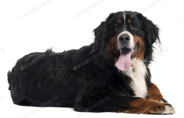Bernese mountain dog, 2 years old, lying in front of white background