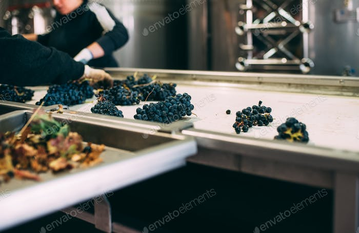 People working in a winery cleaning the grapes