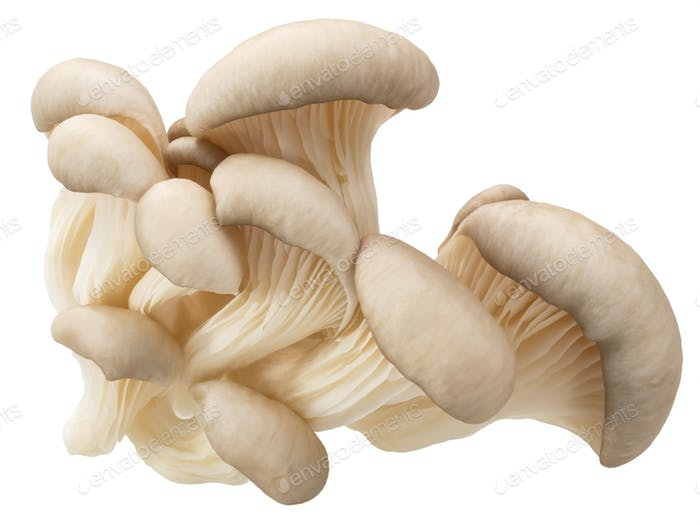 Oyster mushrooms pleurotus, paths