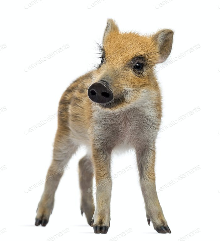 Wild boar, Sus scrofa, also known as wild pig, 2 months old, standing and looking away