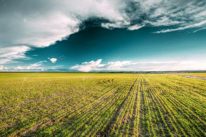 Grünes Feld im Frühling. Landwirtschaftliche Landschaft