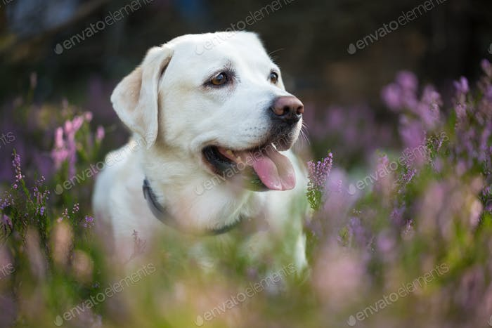 Bright Labrador Retriever