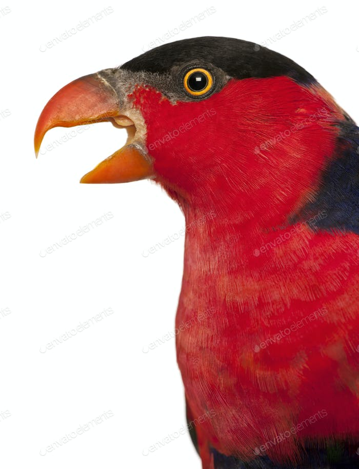 Close up of Black-capped Lory, Lorius lory, also known as Western Black-capped Lory