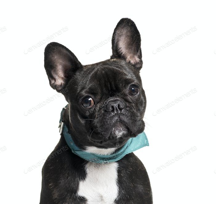 Close-up of a French Bulldog dog, isolated on white
