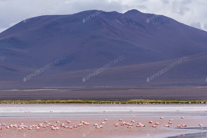 Group of flamingos in Laguna Colorada, a salt lake in the altiplano