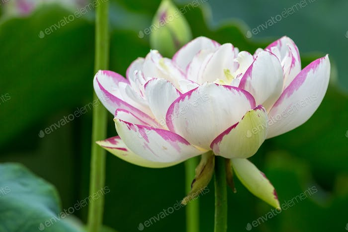 buddha lotus flower closeup