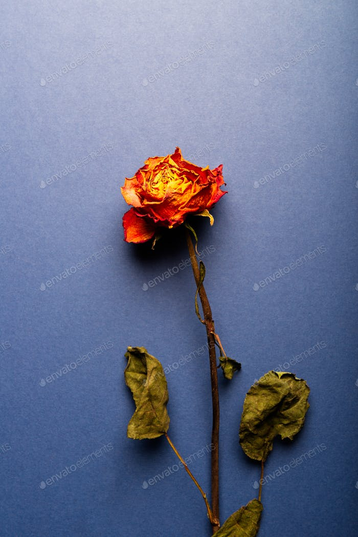 Dried orange rose, beautiful faded flower