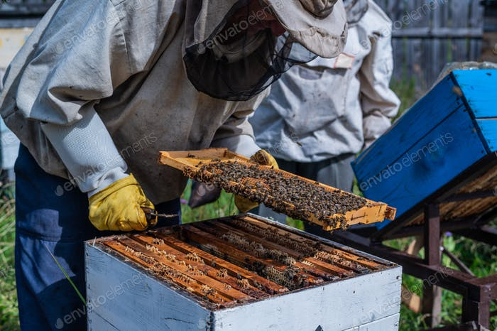 Close-up shot of beekeeper showing honeycomb frame with working bees making honey. Apiculture