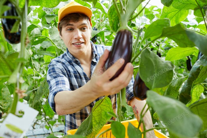 Hothouse worker picking up eggplant